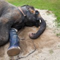 Friends of the Asian Elephant Thailand