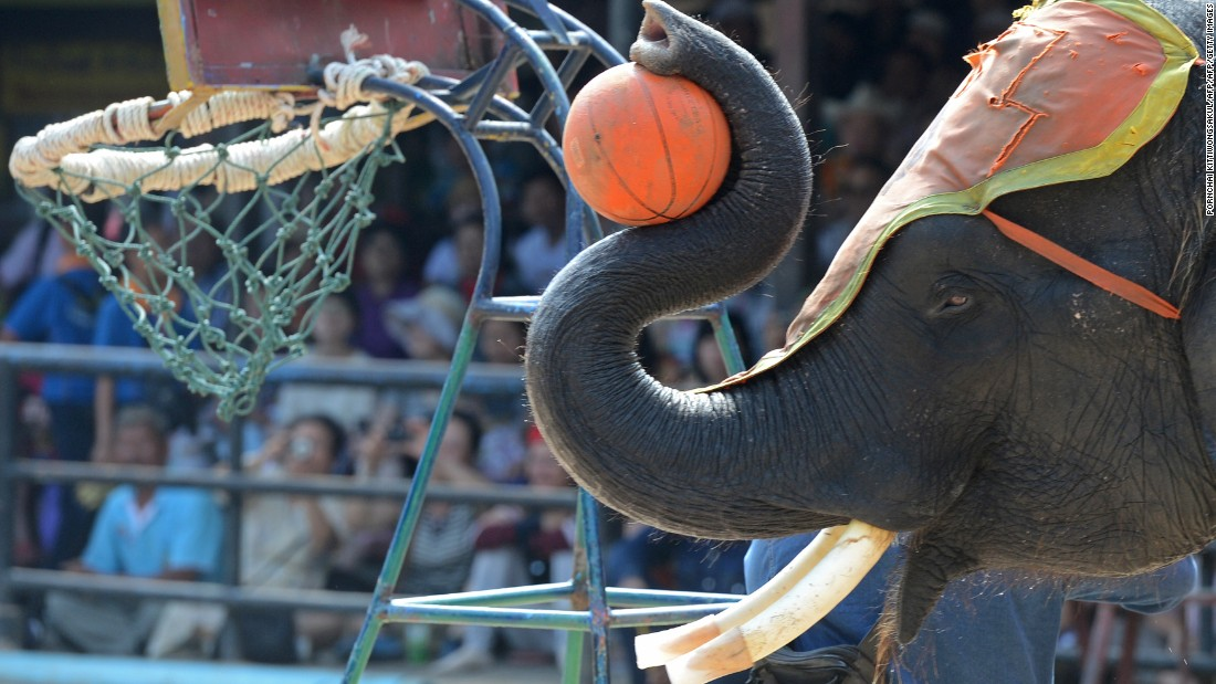 At a circus in Thailand, an elephant dunks a basketball to entertain tourists.