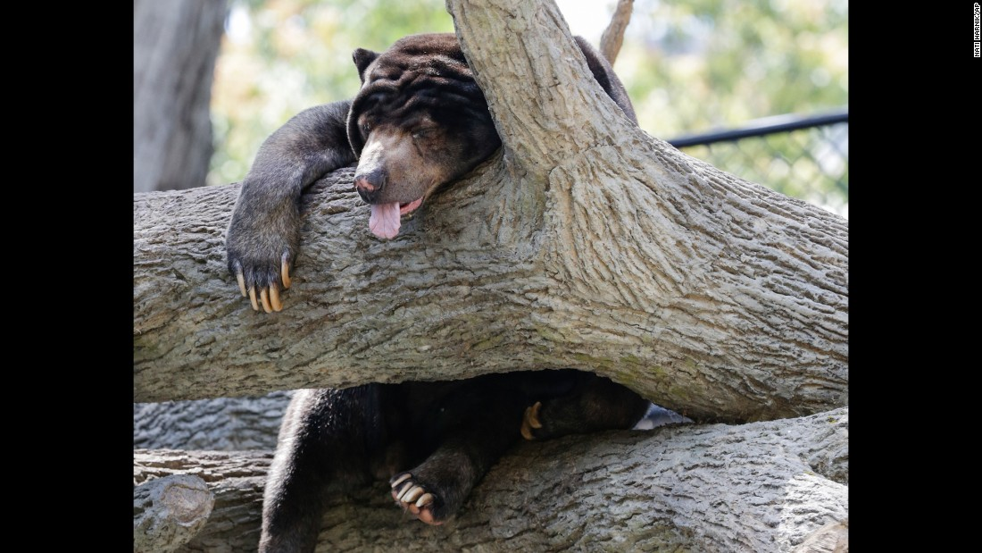 A sun bear sleeps in a tree at the Henry Doorly Zoo in Omaha, Nebraska, on Tuesday, July 11.