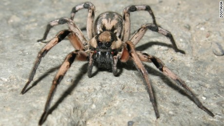 The spider, Lycosa aragogi, named for Aragog from the Harry Potter books and movies.