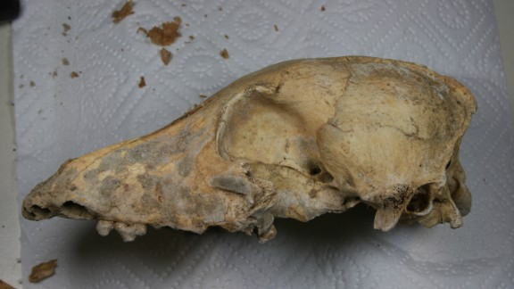 A 5,000-year-old dog skull found in Germany underwent whole genome sequencing. It was found to be very similar to the genome of modern dogs, suggesting that all modern dogs are direct ancestors of the domesticated dogs that lived in the world