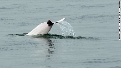 This photo taken on March 17, 2012 shows a Chinese white dolphin swimming in waters off the coast of Hong Kong. Conservationists warned on May 6, 2013 that Hong Kong may lose its rare Chinese white dolphins, also known as pink dolphins for their unique colour, unless it takes urgent action against pollution and other threats. Their numbers in Hong Kong waters have fallen from an estimated 158 in 2003 to just 78 in 2011, with a further decline expected when figures for 2012 are released next month, said the Hong Kong Dolphin Conservation Society.      AFP PHOTO / LAURENT FIEVET        (Photo credit should read LAURENT FIEVET/AFP/Getty Images)