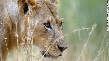 Ending trophy hunting could actually be worse for endangered species