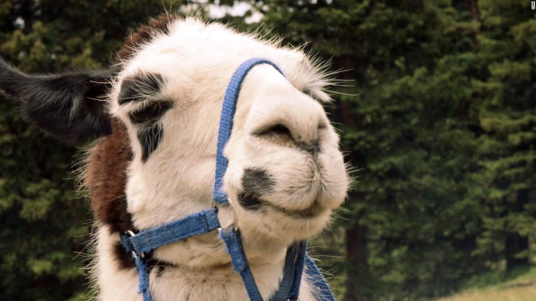 Fast zwei Dutzend Lamas fehlen von einer exotischen Tier-farm in Kalifornien