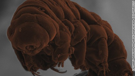 The tardigrade species Ramazzottius varieornatus.