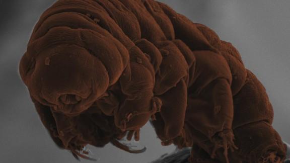 The tardigrade species Ramazzottius varieornatus.