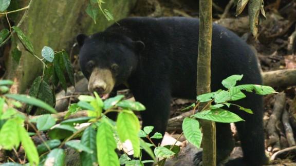 A sun bear explores the forest at the Bornean Sun Bear Conservation Centre.