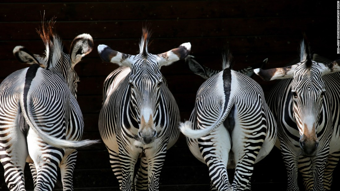 Zebras line up at a zoo in Augsburg, Germany, on Wednesday, August 2.