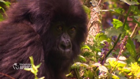 Marketplace Africa Can gorillas help Rwanda's forex issues A_00001007