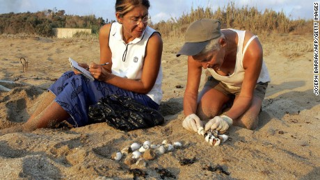Mona al-Khalil (R) and Habiba (second name not available) collect turtle eggs and baby marine turtles 26 August 2004 at Mansuri beach, about 95 kms south of Beirut.