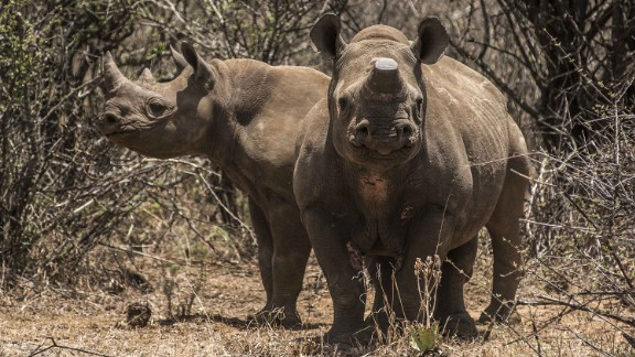 A pair of rare black rhinos, one with its horns removed as an anti-poaching measure, graze in the bush on a ranch belonging to John Hume, hotel magnate and rhino farmer, in South Africa, on Friday, Dec. 4, 2015. White and black rhinos were brought back from the brink of extinction in South Africa in the 1960s to a stable population of close to 20,000. Photographer: Waldo Swiegers/Bloomberg via Getty Images