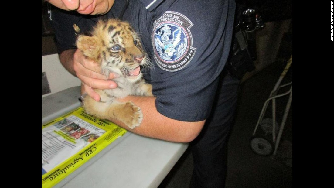 This tiger cub was rescued at the US-Mexico border after an American tried to bring it from Mexico into California on Wednesday, August 23, according to US Customs and Border Protection. Agents from the US Fish and Wildlife Service are working with the San Diego Zoo to take care of the tiger.