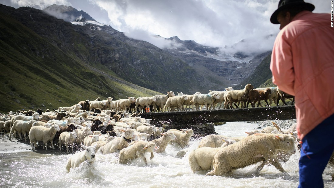 Farmers guide sheep over a river near Sils, Switzerland, on Saturday, August 19.