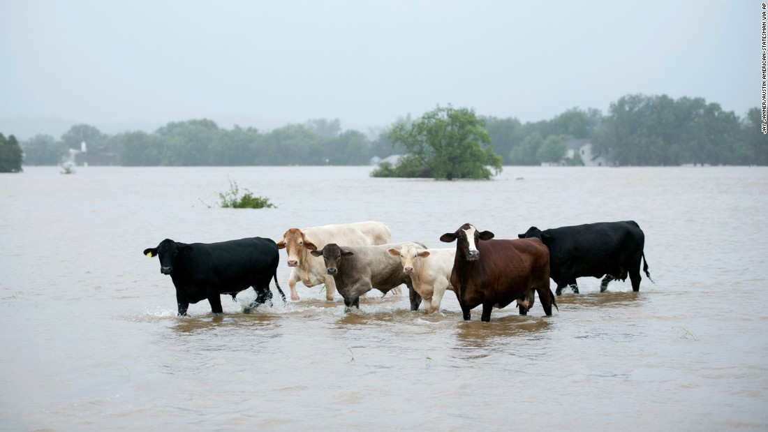 Cattle are stranded in a flooded pasture in La Grange, Texas, on August 28.