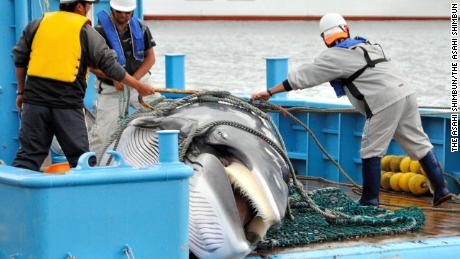 A mink whale is unloaded during the first day of the research whaling at Kushiro Port on September 6, 2013 in Hokkaido, Japan.