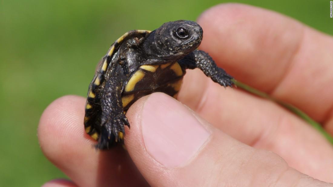 Pet Turtles Blamed For Multistate Salmonella Outbreak Cnn