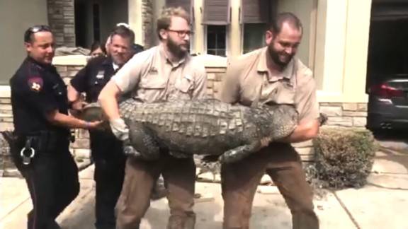 Wildernex Wildlife Control experts and local law enforcement agents remove a 10-foot gator from a home near Houston.