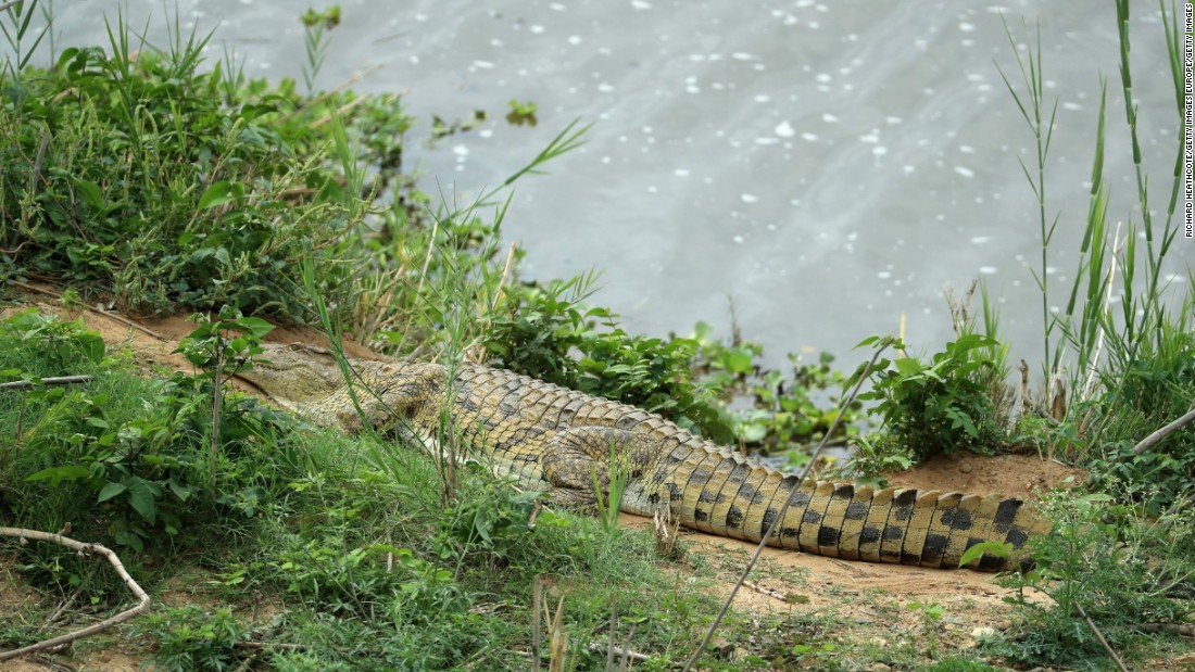 Not that the Legend Golf Course is the only one in Africa offering views of exotic wildlife ... here a crocodile is seen in the Kruger Park at the Leopard Creek Country Golf Club in South Africa in December 2016.