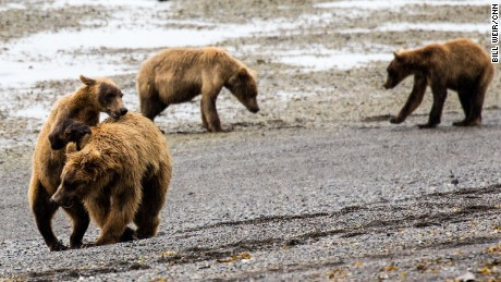 Brown bears in Katmai National Park, southwest of the planned port development.