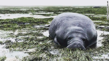 This photo provided by Michael Sechler shows a stranded manatee in Manatee County, Fla., Sunday, Sept. 10, 2017. The mammal was stranded after waters receded from the Florida bay as Hurricane Irma approached. (Michael Sechler via AP)