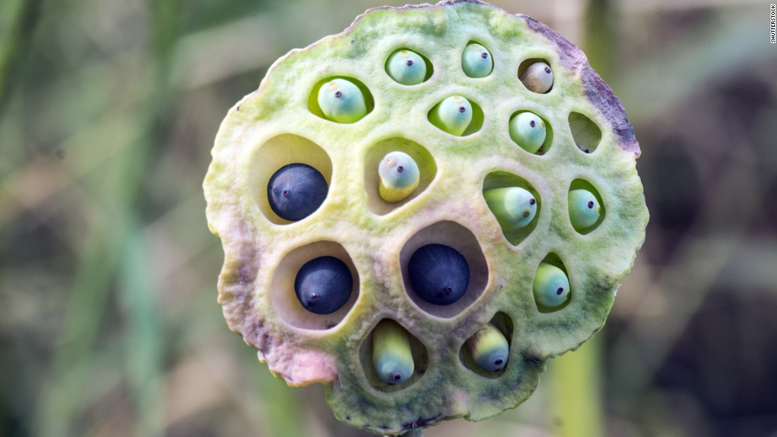 This lotus pod might look weirdly beautiful to some, but to those who suffer from trypophobia, an intense and irrational fear of holes, bumps and clusters, this image could cause a full-blown anxiety attack. Lotus pods are one of the most well-known triggers of this phobia.