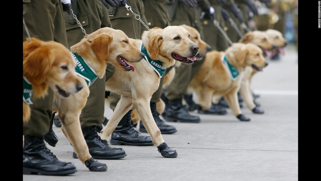Police dogs in Santiago, Chile, line up Tuesday, September 19, as they participate in celebrations marking the Day of the Glories of the Army.