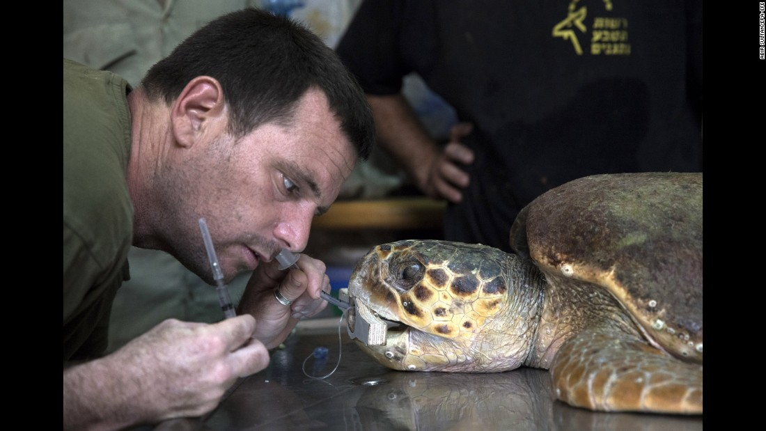 Yaniv Levy and his team resuscitate a dying loggerhead sea turtle at the Sea Turtle Rescue Center in Mikhmoret, Israel, on Monday, September 18.