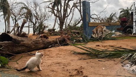 In Luquillo, Puerto Rico, animals wander through the hurricane damage looking for food.