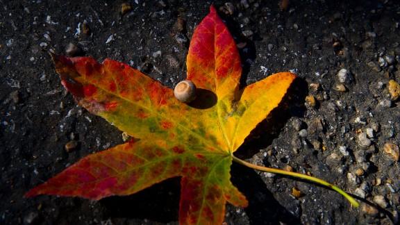 An acorn is seen on top of a fallen Maple leaf in Washington, DC.