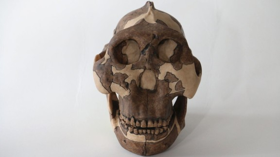 Standing about 4 feet tall, early human ancestor Paranthropus boisei had a small brain and a wide, dish-like face. It is most well-known for having big teeth and hefty chewing muscles.