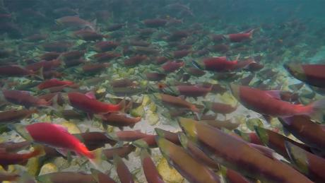 EPA reversed salmon protection after CEO meeting