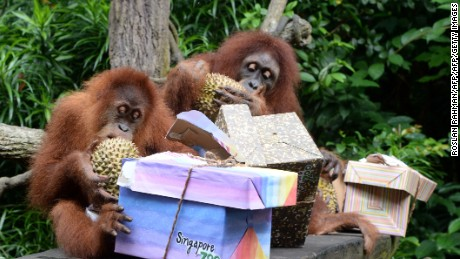 Orangutans eat durian at Singapore zoo.