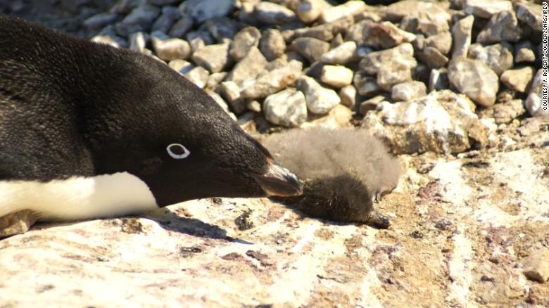 Penguin Breeding Catastrophe Chicks Dead Only Two Survivors Cnn