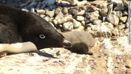 Penguin catastrophe leaves thousands of chicks dead with only two survivors