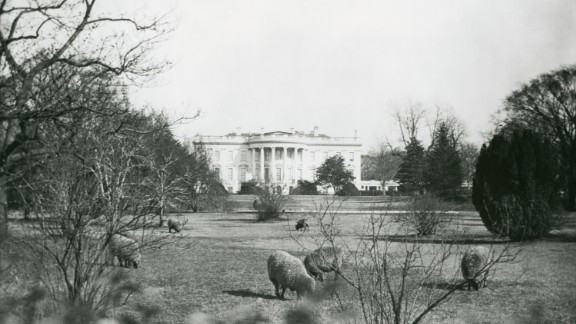 Who needs groundskeepers? Woodrow Wilson's sheep graze on the South Lawn of the White House.