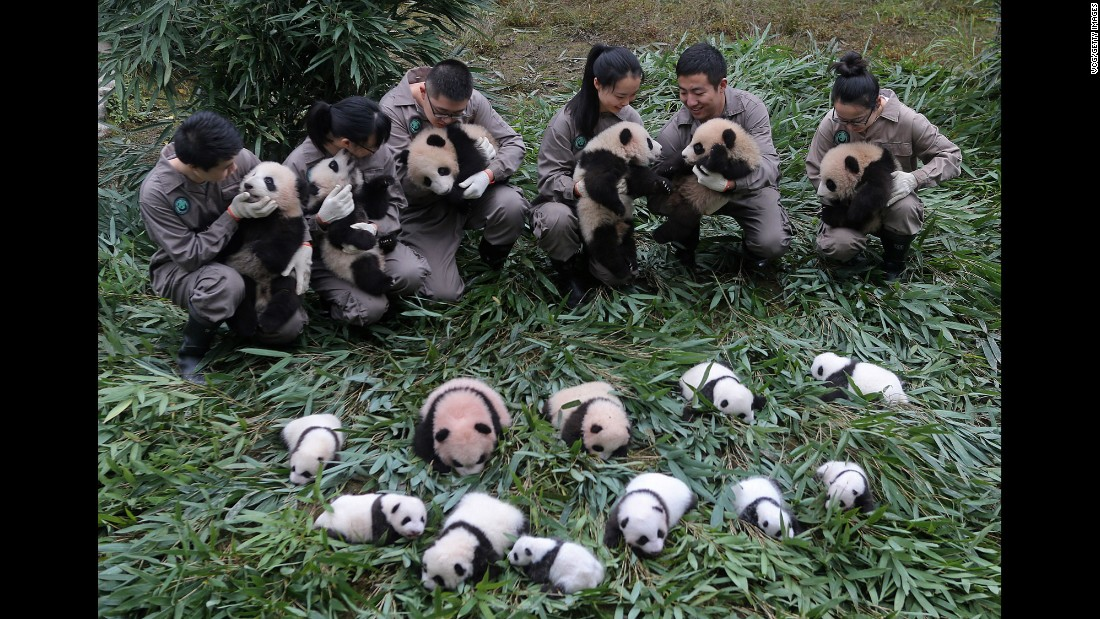 Seventeen giant panda cubs, all born this year, meet the public at the Bifengxia Base of the China Conservation and Research Center for the Giant Panda on Friday, October 13, in Ya'an, China. So far this year, the center has successfully bred 42 giant pandas.