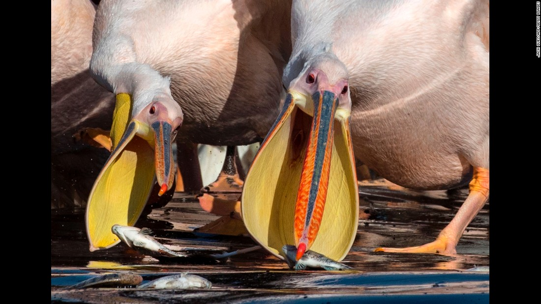 Great white pelicans eat fish provided by farmers at a reservoir in Mishmar HaSharon north of Tel Aviv, Israel, on Wednesday, October 18.