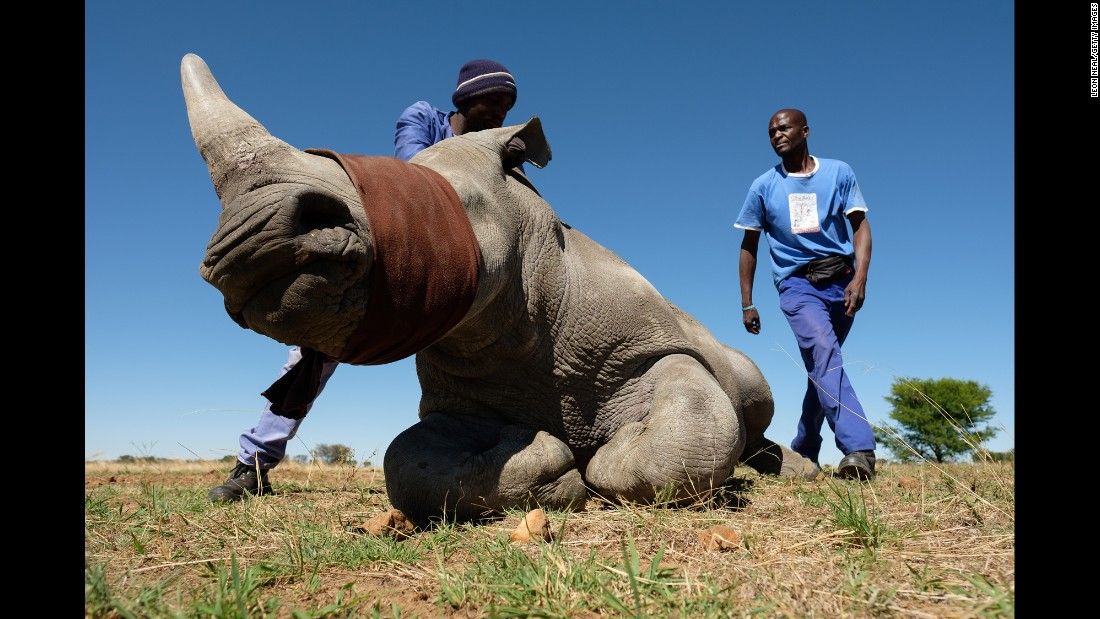 "Two members of the farm team stand with a sedated and blindfolded white rhino before it has its horn trimmed at the ranch of rhino breeder John Hume on Monday, October 16, in the North West province of South Africa. Hume is the owner of approximately 1,500 white and black rhinos, which he keeps under armed guard on his 8,000-hectare property. In a bid to prevent poaching and conserve the different species of rhino, the horns of the animals are regularly trimmed, with 264 of the off-cuts recently being <a href=""http://www.cnn.com/2017/08/23/africa/south-africa-rhino-horn-auction/index.html"" target=""_blank"">placed on sale at auction.</a>"