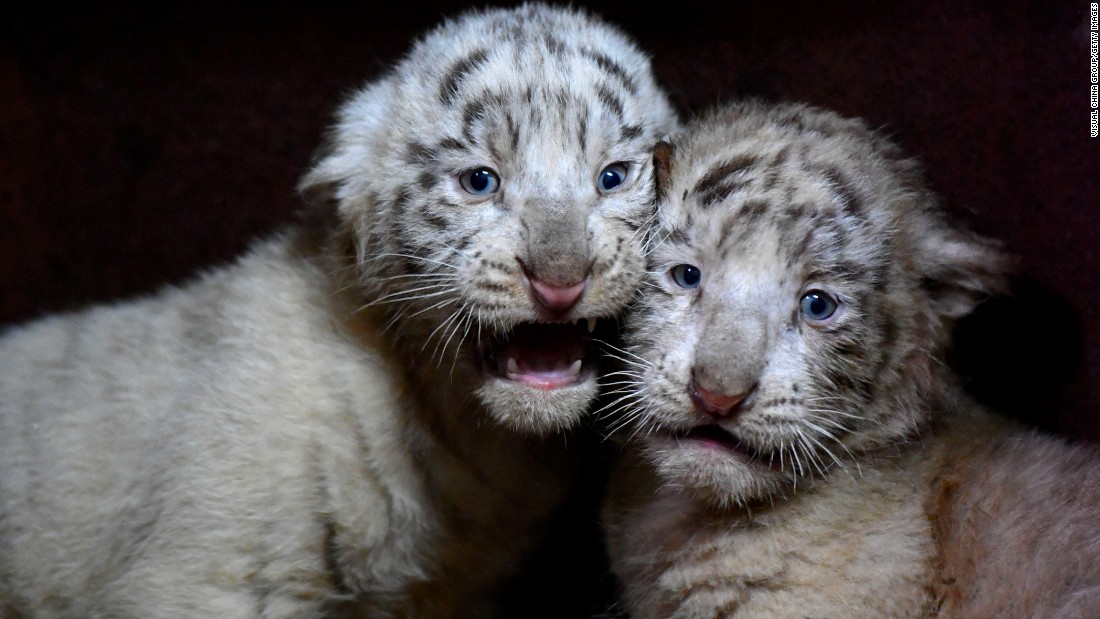 Two white-tiger cubs -- part of sextuplets -- are seen at the Yunnan Zoo in Kunming, China, on Wednesday, October 25. According to the zoo, white tigers usually give birth to two or three cubs. Sextuplets (six at a time) are considered very rare.