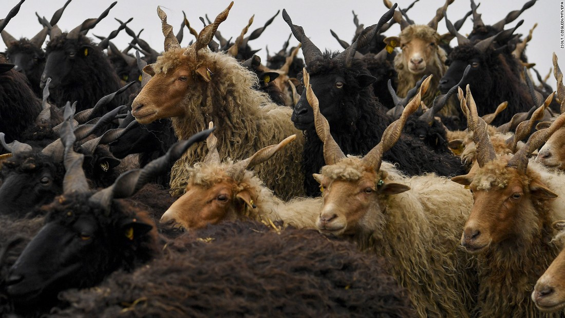 Racka sheep are herded from their summer pasture to their winter habitat in Hortobagy, Hungary, on Saturday, October 21.