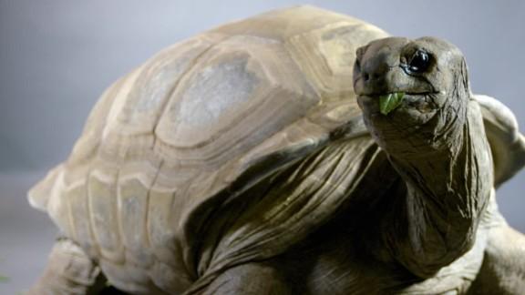 gbs aldabra tortoise_00000000.jpg
