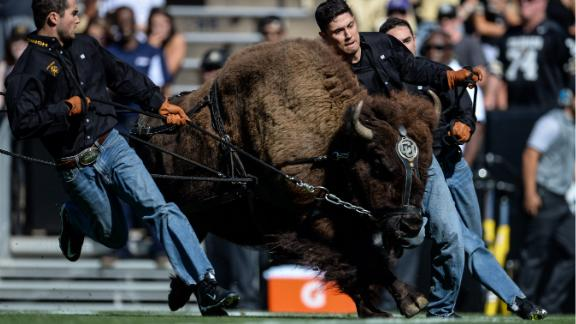 Handlers run with Colorado Buffaloes mascot Ralphie before a game on September 10, 2016.