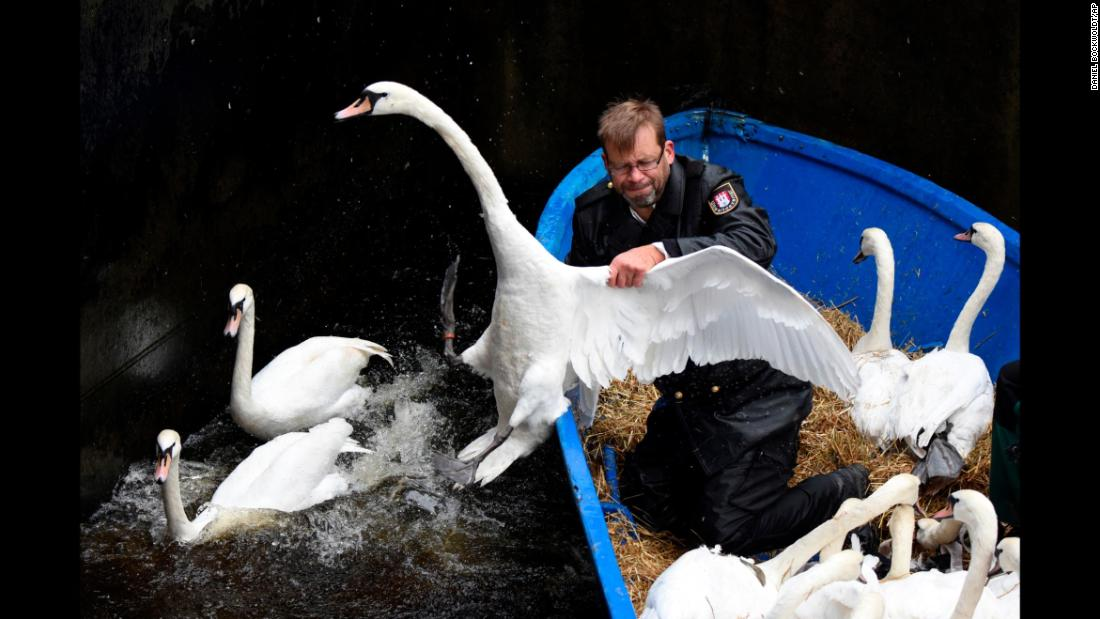 Olaf Niess transports swans to their winter enclosure in Hamburg, Germany, on Tuesday, November 7.