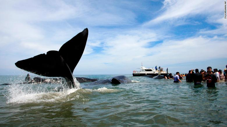 rescuers attempt attempt to push stranded whales back into the ocean at ujong kareng beach - Images Of Whales