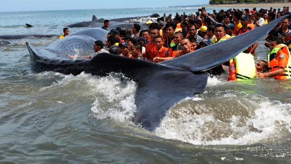 Rescuers attempt attempt to push stranded whales back into the ocean at Ujong Kareng beach in Aceh province, Indonesia, Monday, Nov. 13, 2017. An official said 10 whales were stranded at the beach and attracted hundreds of onlookers who posed for pictures with them. (AP Photo/Syahrol Rizal)