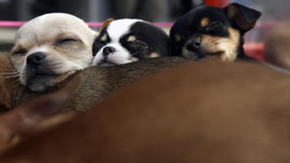 """BEIJING, CHINA - MARCH 19: (CHINA OUT) Chihuahua puppies sleep at a pet market on March 19, 2006 in Beijing, China. According to state media, with the country's pet population growing fast, analysts predict that the market potential for the """"pet economy"""" in China could reach a minimum of RMB 15 billion (about USD 1.86 billion). (Photo by China Photos/Getty Images)"""
