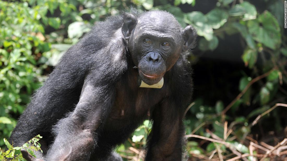 "Bonobos are typically going to be <a href=""https://www.ncbi.nlm.nih.gov/pmc/articles/PMC3068228/"" target=""_blank"">right-handed</a>, research shows."