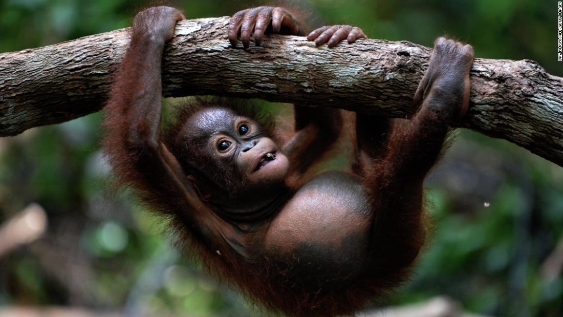 "Orangutans as a population don't tend to show a preference for hands in <a href=""https://www.ncbi.nlm.nih.gov/pmc/articles/PMC3068228/"" target=""_blank"">some studies.</a> The scientists looked at what hand they used to reach for a PVC pipe. However, orangutans tend to hold their offspring on the right side."