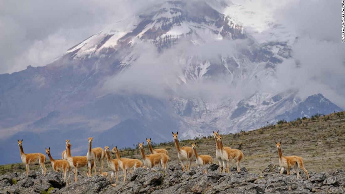 <strong>Mount Chimborazo, Ecuador:</strong> Vicunas -- believed to be the wild ancestors of domesticated alpacas -- are pictured in front of Mount Chimborazo, which, when measured by distance from the Earth's center rather than distance from sea level, is the highest point on Earth.