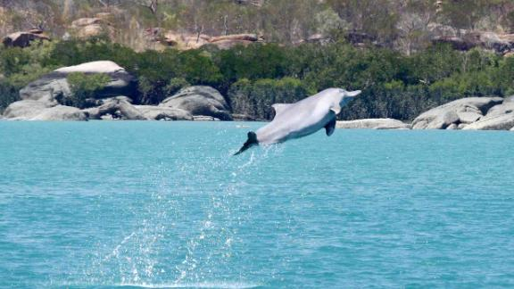 Leaping humpback dolphin